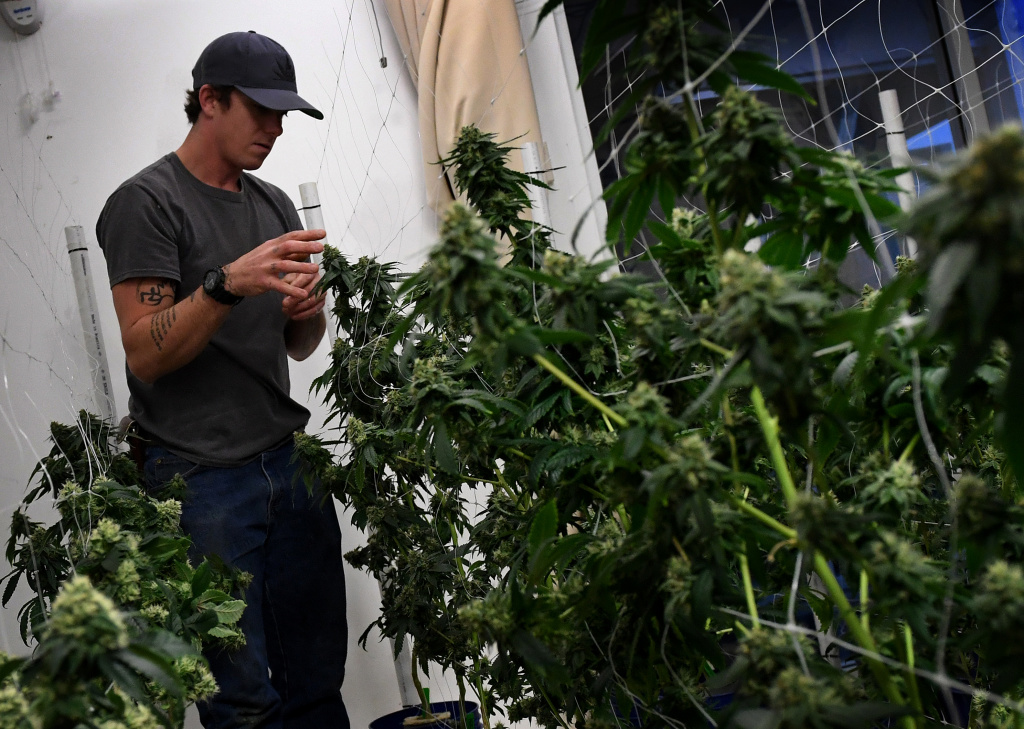 A worker tends to cannabis plants growing at the Perennial Holistic Wellness Center, a marijuana dispensary in Los Angeles, California, on March 24, 2017.