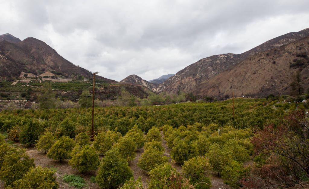 Emily Ayala's citrus orchard in Ojai. She anticipates that she'll have to pull out trees due to a lack of rain.