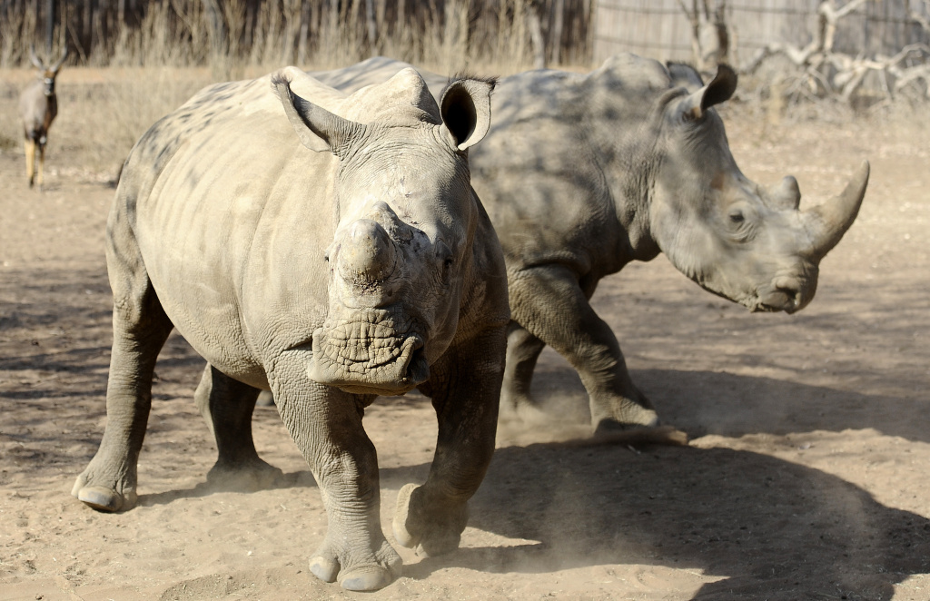 Two adult white rhinos stand in an enclosure at South Africa's Entabeni Safari Conservancy in 2012. Entabeni is one of the world's only dedicated orphanages for rhino calves whose parents were poached for their horns — a trend that is rising.