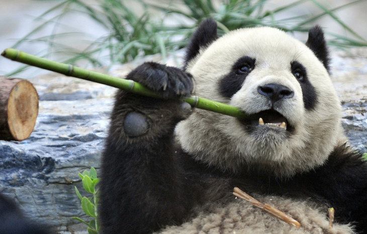 A hungry giant panda tears a stick of ba