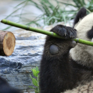 A hungry giant panda tears a stick of bamboo at a zoo in Beijing after being evacuated from the famed Wolong breeding centre in southwest China's Sichuan province due to food shortages and damage caused by the May 12 earthquake.