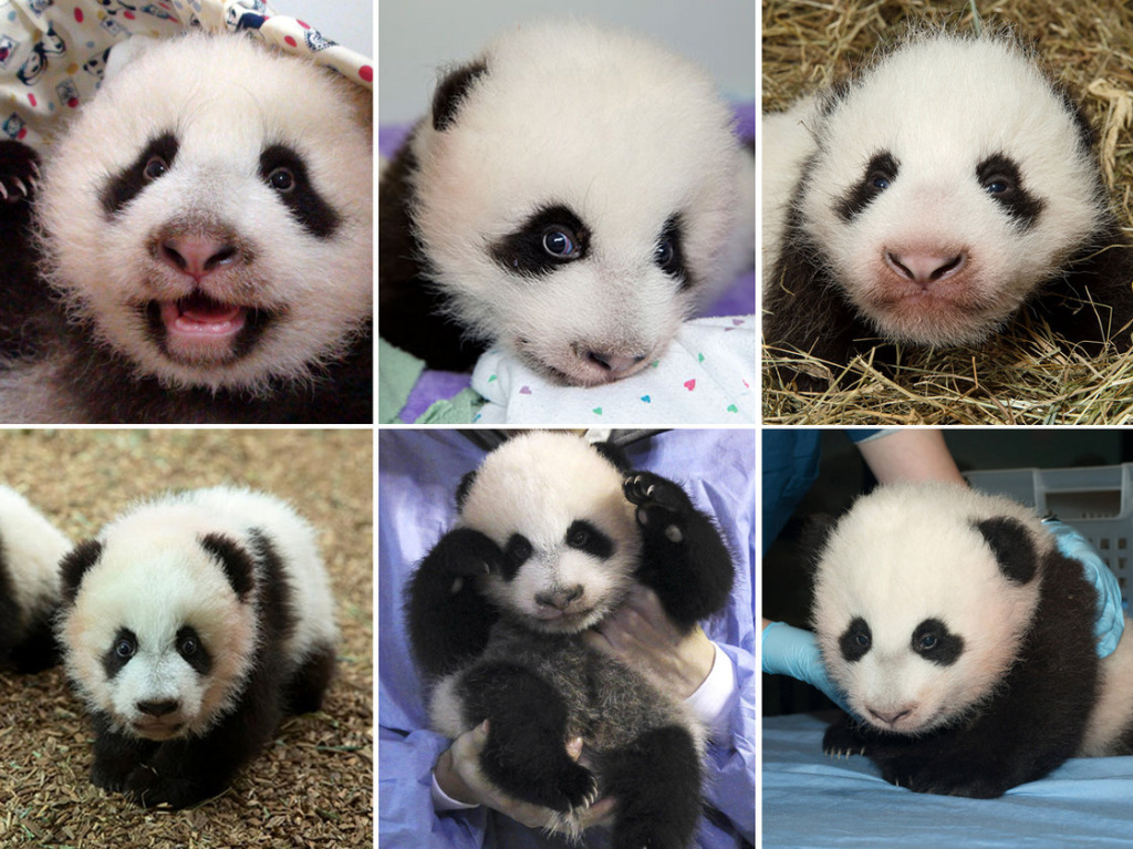 (Clockwise, from left) Yuanzai, Mei Huan, Happy Leopard, Mei Lun, Xing Bao and Bao Bao — six of the 49 pandas born in captivity in 2013.