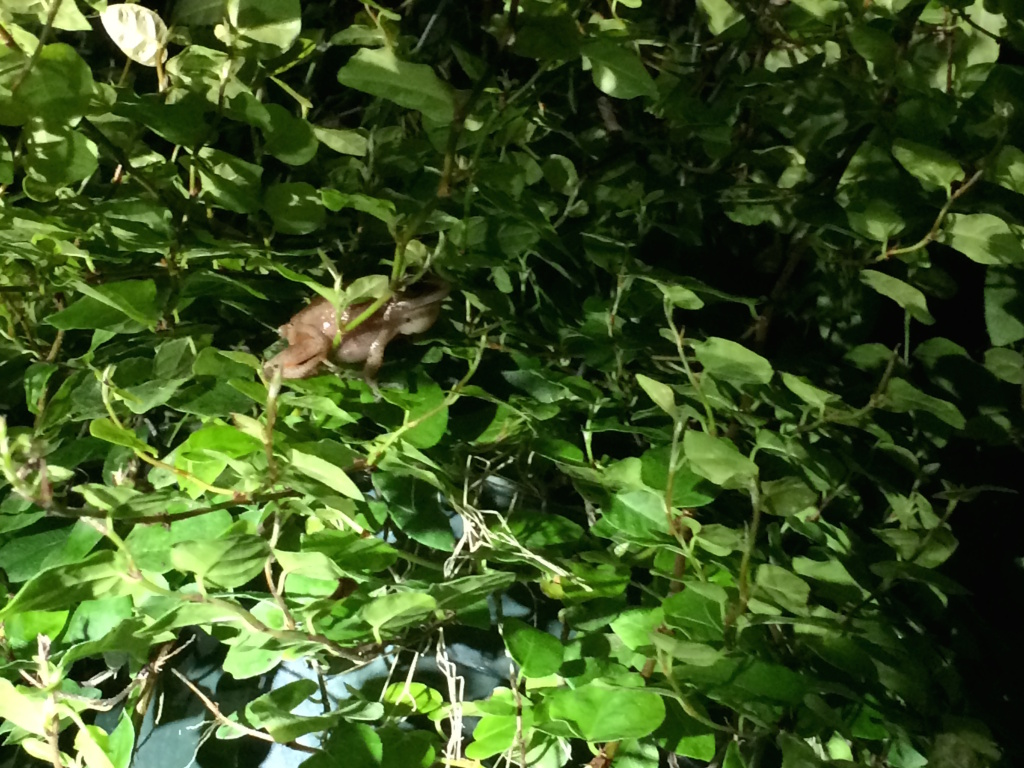 A male coqui frog hides within a plant at a tropical nursery in Torrance.