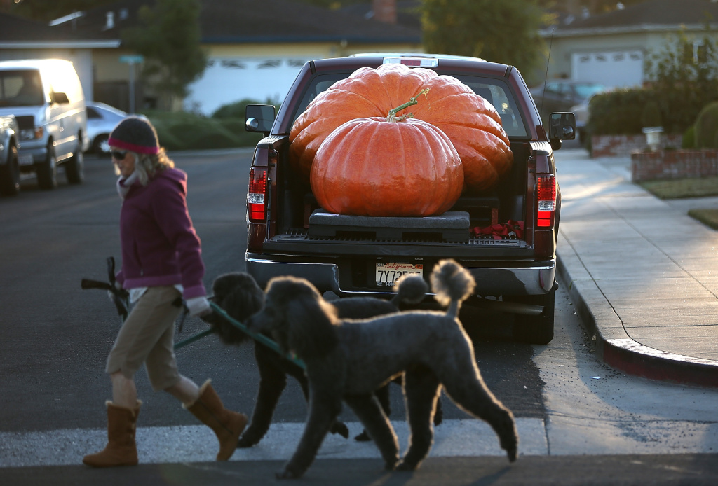 Giant pumpkins sit in the bed of a truck before the 40th Annual Safeway World Championship Pumpkin Weigh-Off on October 14, 2013 in Half Moon Bay, California. Gary Miller of Napa, California  won the 40th Annual Safeway World Championship Pumpkin Weigh-Off gigantic pumpkin with a gigantic pumpkin that weighed in at 1,985 pounds. Miller took home a cash prize of $11,910, or $6.00 a pound.