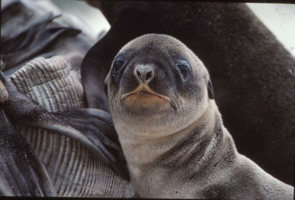A baby sea lion on San Miguel Island on June 7, 2014.