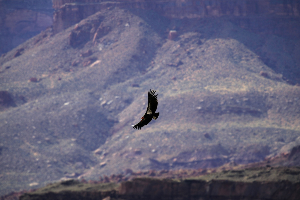 A rare and endangered California condor flies near Marble Gorge, east of Grand Canyon National Park, March 23, 2007 west of Page, Arizona.