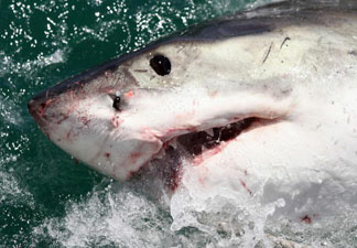 A 14-foot great white shark was spotted in Santa Barbara Wednesday. Pacific great white sharks may travel about 1,600 miles west from the California coast.