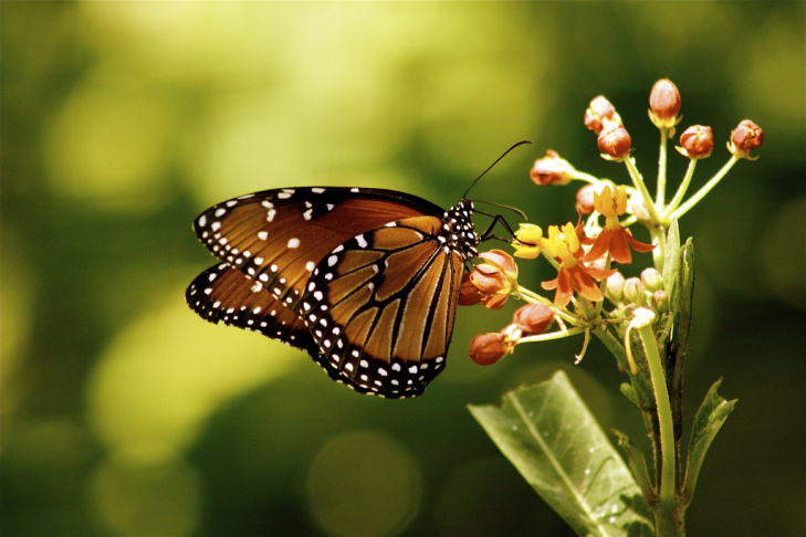 A Monarch butterfly is in a flower in Los Angeles, California on October 28, 2010. Overall numbers of the black-and-orange butterflies have dropped from 1 billion to fewer than 60 million over the past two decades as milkweed nationwide has fallen prey to development and pesticides.