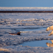 A polar bear walks in the Arctic National Wildlife Refuge.The Obama administration is proposing new protections in the region that would ban mining and drilling.