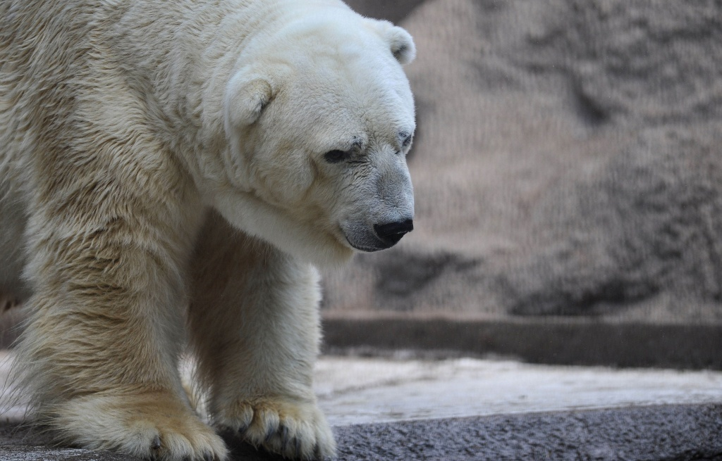 Arturo, the only polar bear in Argentina, lives in captivity at a zoo in Mendoza. The plight of the