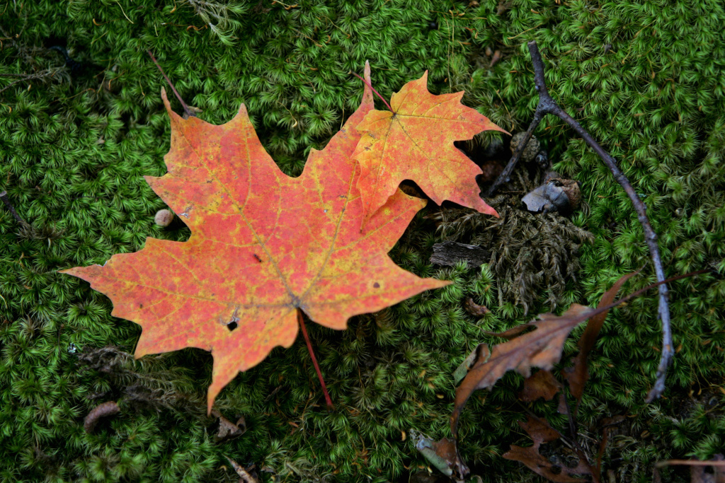 A fallen leaf lies on the moss covered ground on October 11, 2006 in Bear Mountain State Park near Harriman New York.