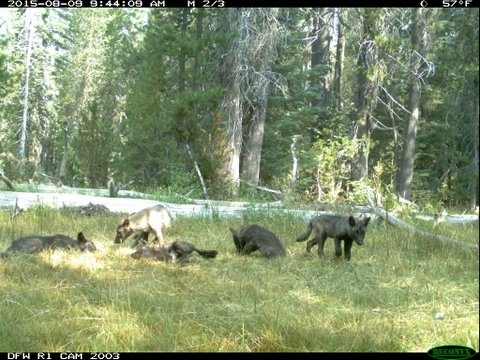 A wolf pack was spotted in Northern California for the first time in decades.