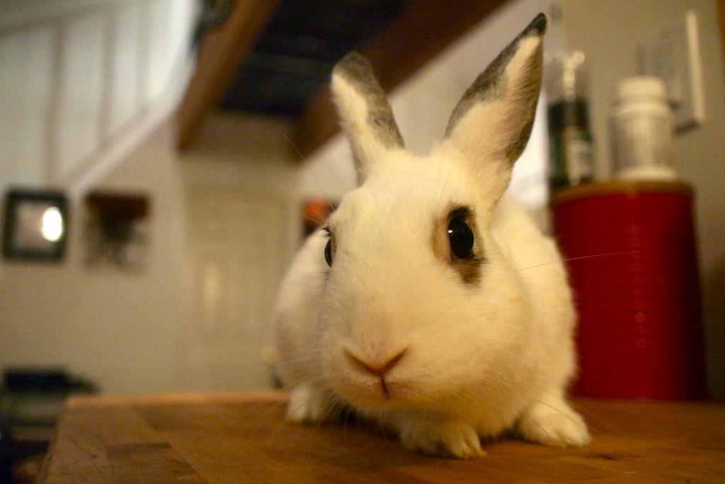 Arthur the rabbit