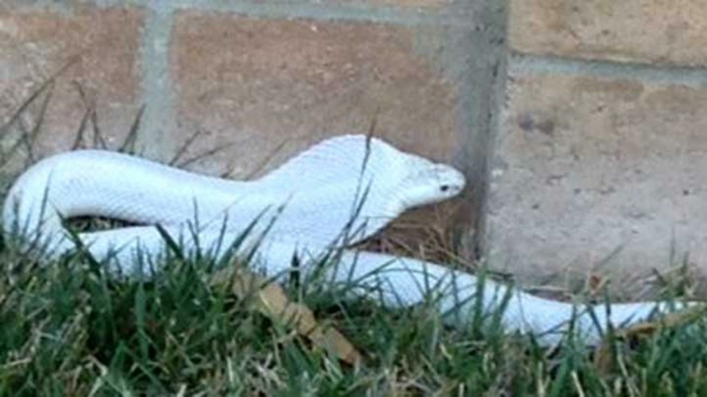 A poisonous albino cobra was spotted in a Thousand Oaks neighborhood on Wednesday, Sept. 3, 2014.