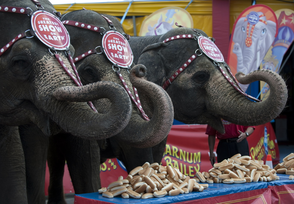 Ringling Bros. and Barnum & Bailey elephants Bunny, Susie and Minnie line up in front of a table full of hot dog buns July 2, 2010 in Coney Island, New York.