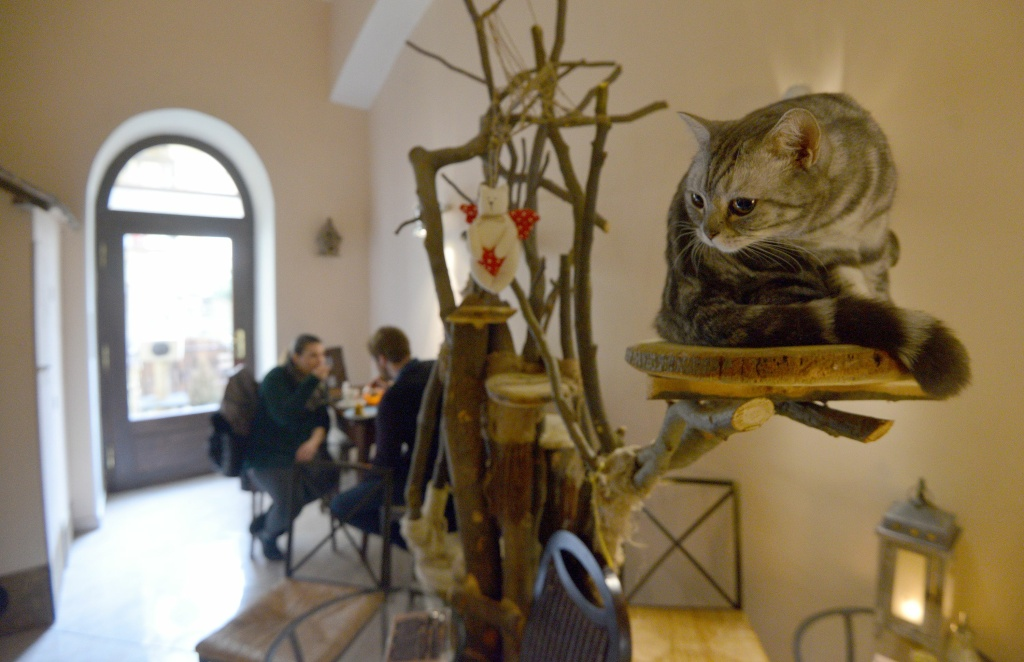 A cat sits on a perch at the cat cafe Kocicí Kavarna, on March 13, 2016 in Prague.