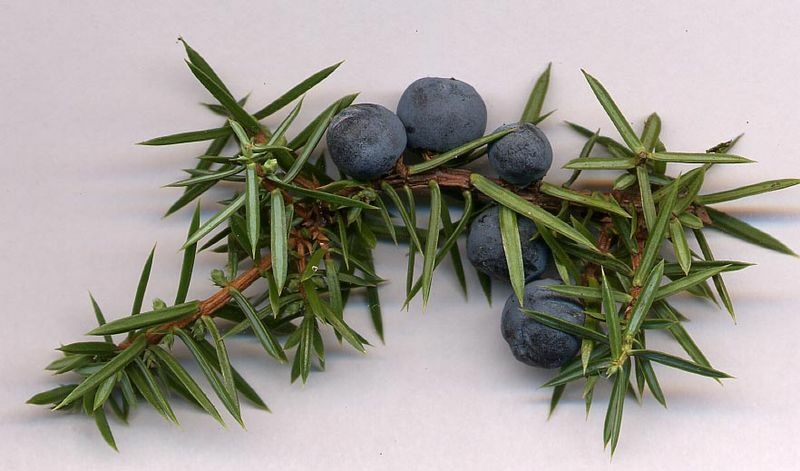 Juniperus communis cones, from a wild plant in the South Tyne valley, Northumberland, UK.