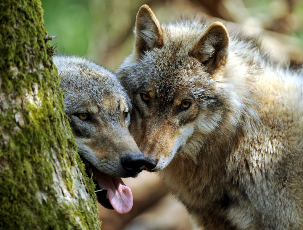 Two young wolves hide behind a tree on April 26, 2011.