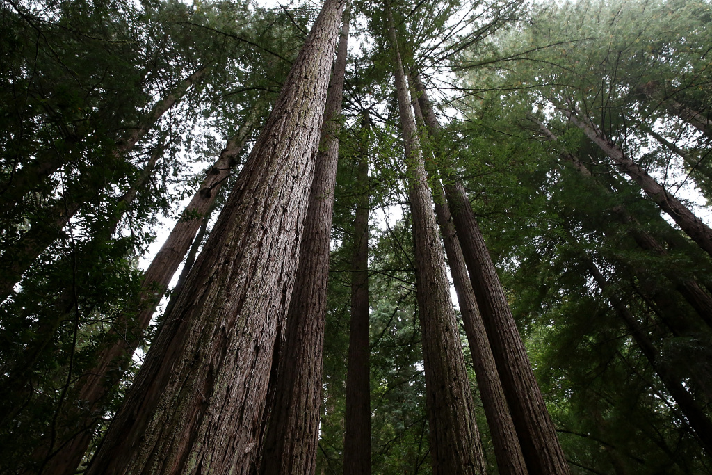 Coastal Redwood trees stand at Muir Woods National Monument on August 20, 2013 in Mill Valley, California.