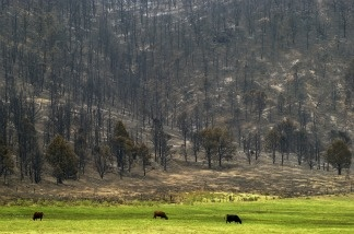 Burned trees surround cattle grazing in a meadow in the Sequoia National Forest in the southern Sierra Nevada Mountains west of Ridgecrest, CA.