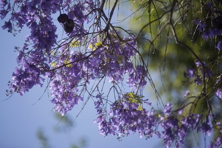 Slideshow iseechange why southern californias jacaranda trees jacarandas bloom early on thursday april 16 2015 along del mar boulevard at waldo mightylinksfo