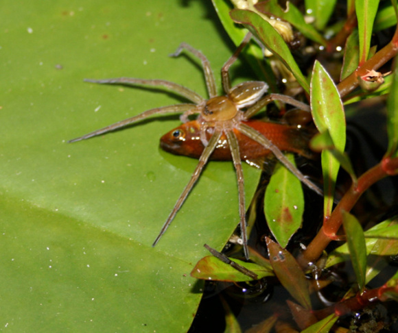 Fishing spider Dolomedes facetus captured fish (genus Xiphophorus) in garden pond near Brisbane, Queensland, Australia. Courtesy Martin Nyffeler & Bradley Pusey (2014) Fish Predation by Semi-Aquatic Spiders: A Global Pattern. PLOS ONE.
