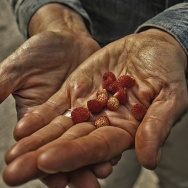 farmer hands strawberry crops