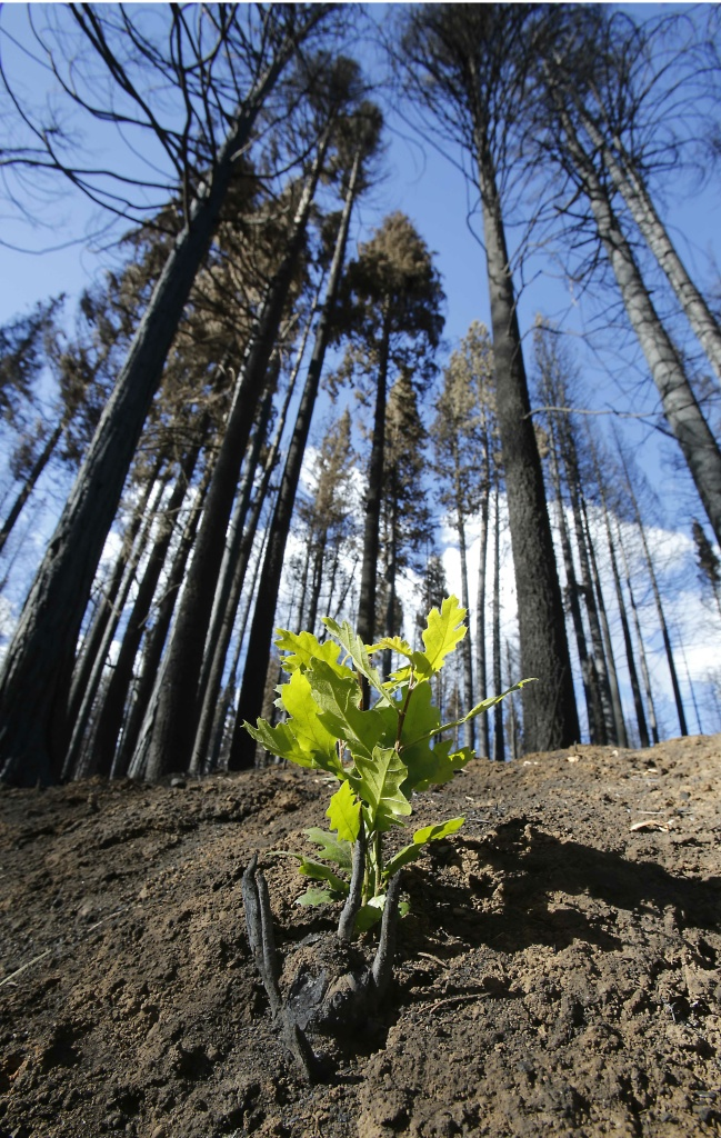 In this photo taken Thursday, Sept. 25, 2013  A small plant begins to grow among trees scorched by the Rim Fire in the Stanislaus National Forest, near Tuolumne City, Calif.  Just three weeks after flames of the Rim Fire consumed an estimated 30,000 acres of forest land, nature has begun to repair itself with new plant growth.(AP Photo/Rich Pedroncelli)
