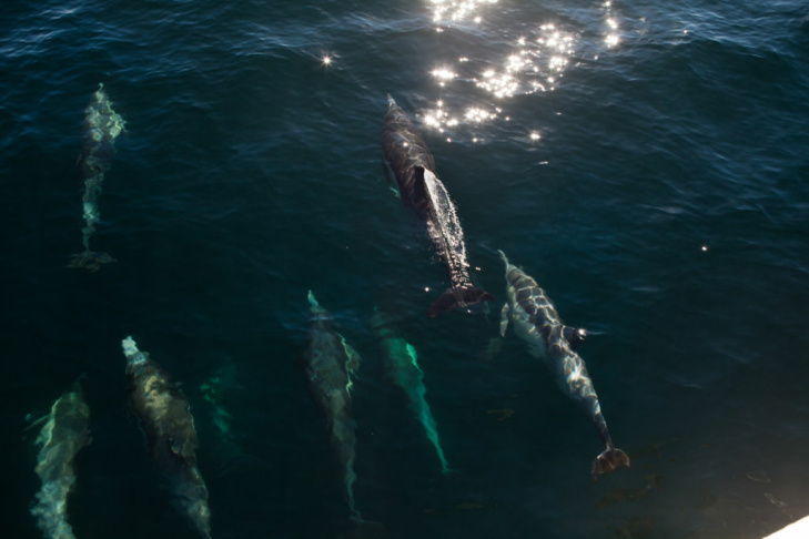 A megapod of common dolphins swim off the shores of Catalina Island.