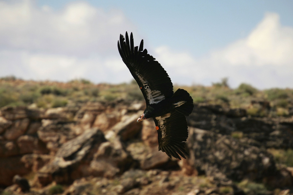 PAGE, AZ - MARCH 24:  A rare and endangered California condor flies over Marble Gorge, east of Grand Canyon National Park, on March 24, 2007 west of Page, Arizona.