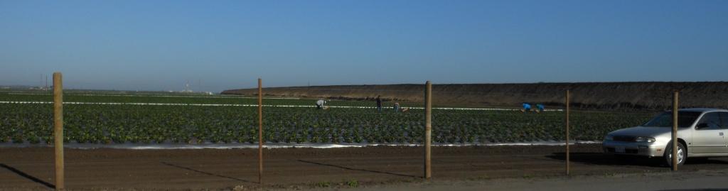 Strawberry fields in Salinas, California