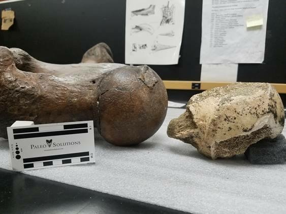 The sloth bone is at left, the bison bone at right.
