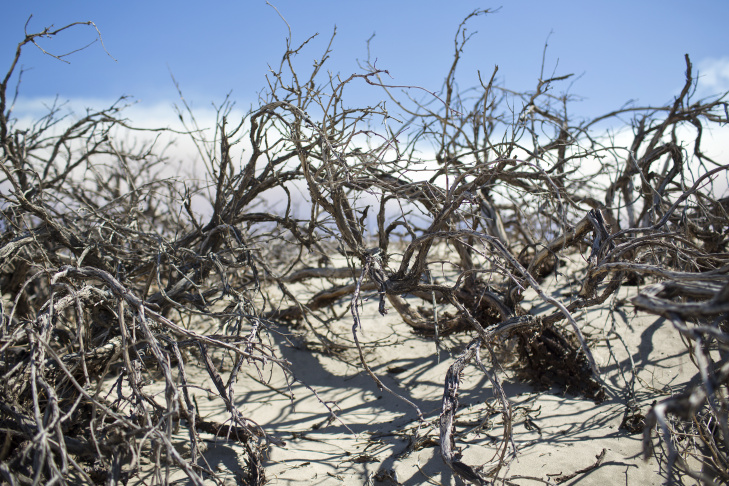 Photo of dead honey mesquite