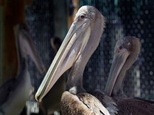 File photo of brown pelicans.