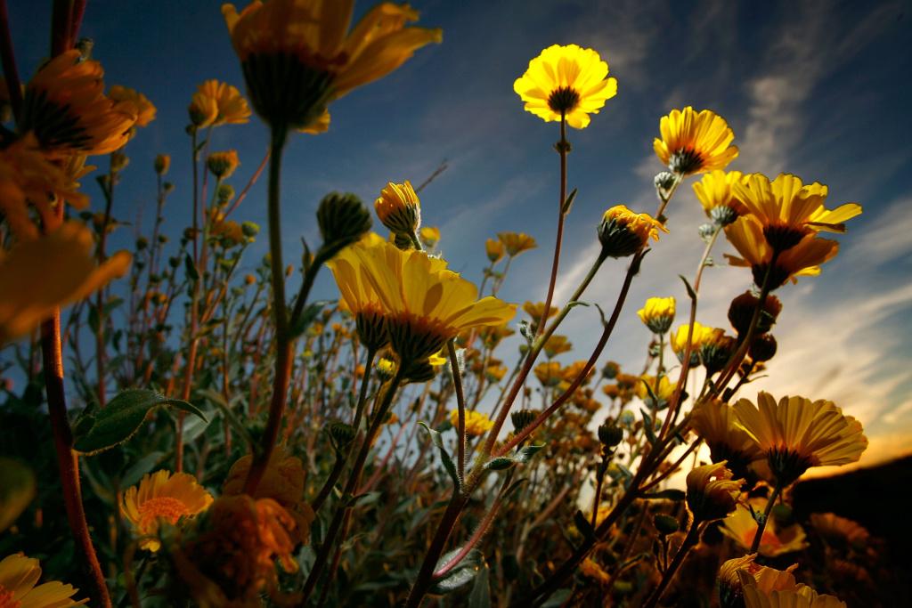 Desert sunflowers begin the annual desert bloom at sunrise near Amboy Crater National Natural Landmark on February 29, 2008 near Amboy, California.