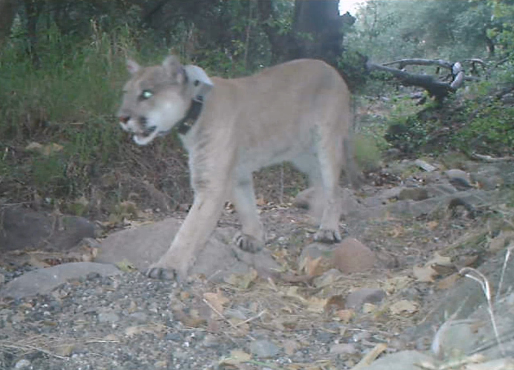 A video of mountain lion P22 taken on May 28th shows the treatment he received during capture appears to have helped after the animal was found with mange.