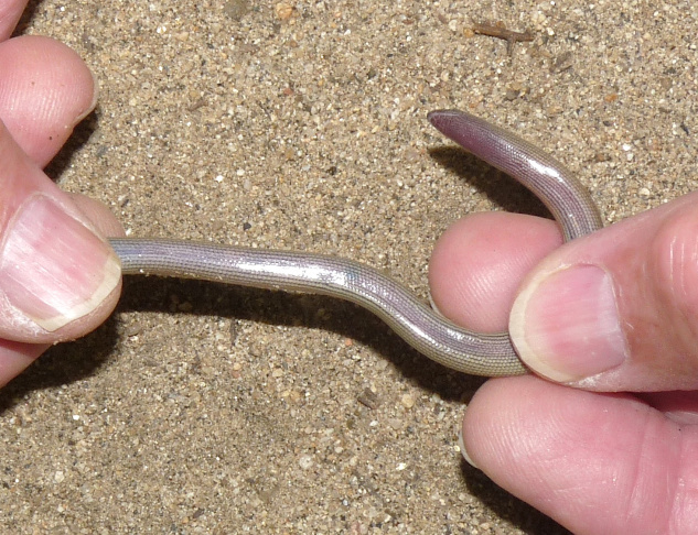 The legless lizard has eyelids, so unlike a snake, it can blink.