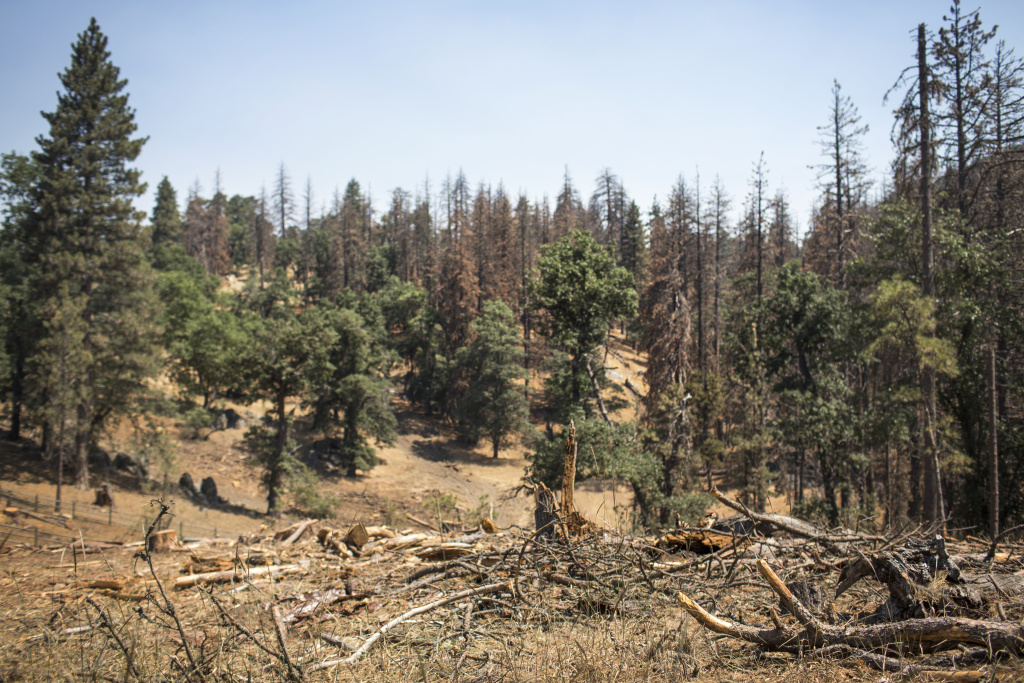 Dead ponderosa pine trees are scattered across Bear Valley Springs, CA in July 2017. Forests are taking longer to recover from drought, due to hotter temperatures.