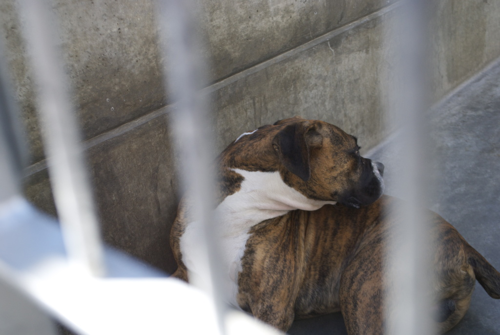 File photo: A pit bull mix in his cage at the Pasadena Humane Society on Sept. 24, 2013.