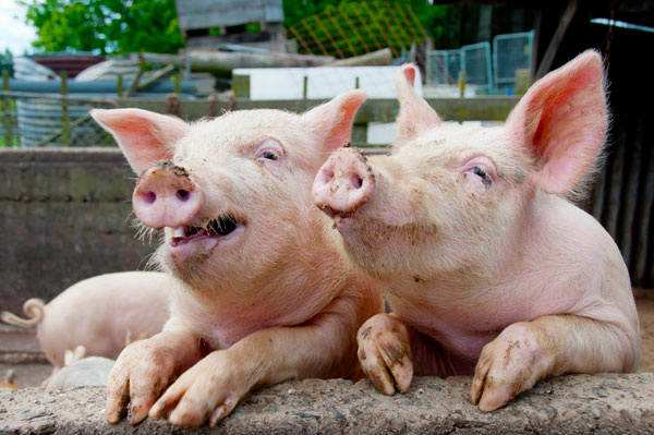 Researchers have concluded that pigs have different personality traits.
