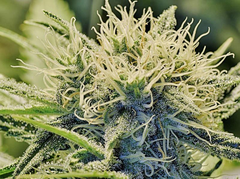 Explaining Proposition 64: How California would legalize marijuana