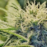 Cannabis101916P.jpg