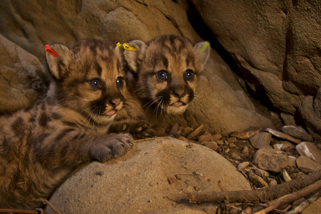National Park Service researchers discovered two litters of mountain lion kittens in the eastern Santa Susana Mountains in June 2016. P-50 (male), P-51 (female), and P-52 (male) were born to P-39. A total of five kittens, three females and two males, were eartagged and returned to their respective dens earlier this month.
