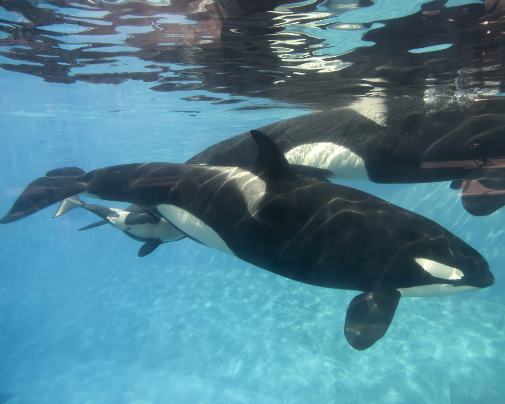 In this handout photo provided by SeaWorld San Diego, a baby killer whale calf nurses from its mother, Kalia, at SeaWorld San Diego's Shamu Stadium  in San Diego, California.
