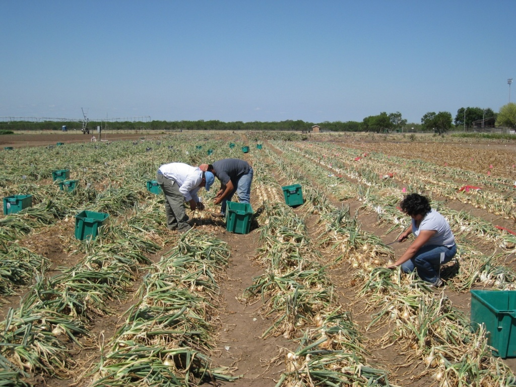 Workers harvest onions in a Texas field.