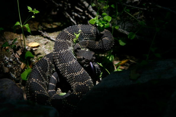 LOS ANGELES, CA - MAY 21: A venomous southern Pacific rattlesnake tastes the air in Santa Ynez Canyon in Topanga State Park on May 21, 2008 in Los Angeles, California.