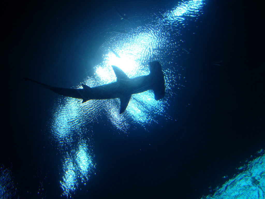 File: A hammerhead shark at the Georgia Aquarium in Atlanta, Georgia on May 2, 2009.
