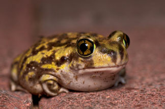 FILE: Western toad