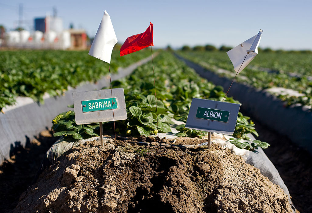 Varieties of strawberries are labeled. The Albion variety, right, was developed by the University of California.