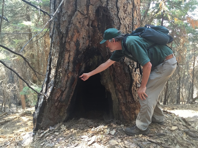Many old-growth trees, like this ponderosa pine, survived for hundreds of years until this drought. USGS Ecologist Nate Stephenson points at a huge fire scar, indicating this tree survived many previous fires. The tree died during the on-going drought.